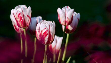 tulipan 440x250 - sazenicka.cz