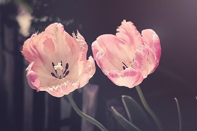 tulipany 1 - Tulipány vysazujte od poloviny září do konce října, jinak vám nepokvetou