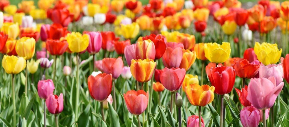 tulipany - Na podzim nastává čas pro výsadbu tulipánů