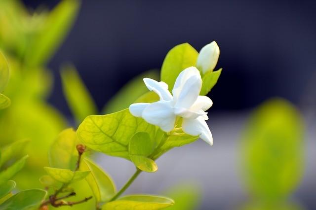 arabian jasmine 2667887 640 - Jasmín