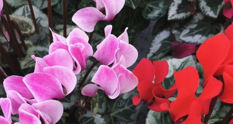 bramborik kvet