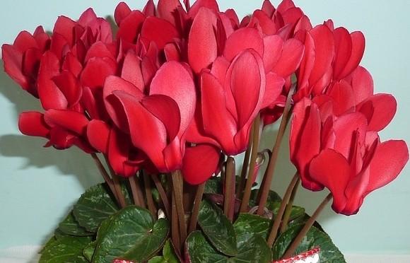 cyclamen - Hrnkové rostliny, které k Vánocům neodmyslitelně patří