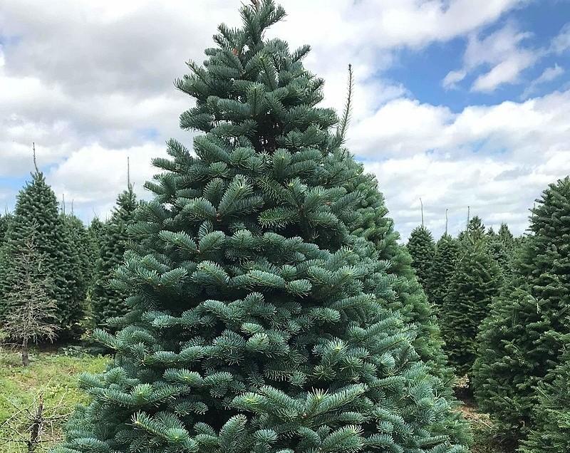 jedle belokora - Živý vánoční stromeček: Jaké druhy se na něj hodí nejlépe