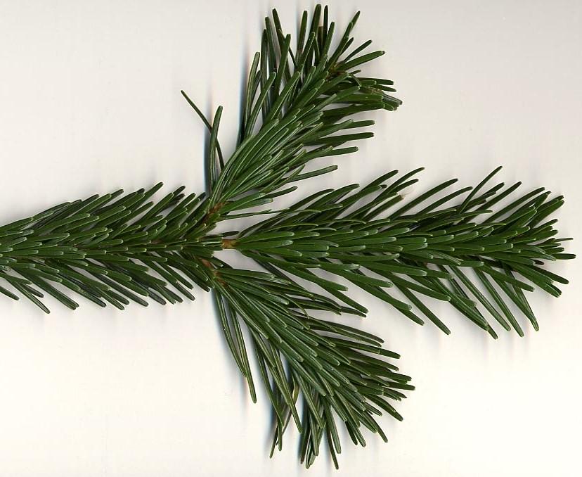 jedle kavkazska - Živý vánoční stromeček: Jaké druhy se na něj hodí nejlépe