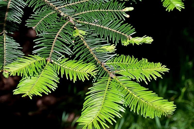 jedle obrovská - Živý vánoční stromeček: Jaké druhy se na něj hodí nejlépe