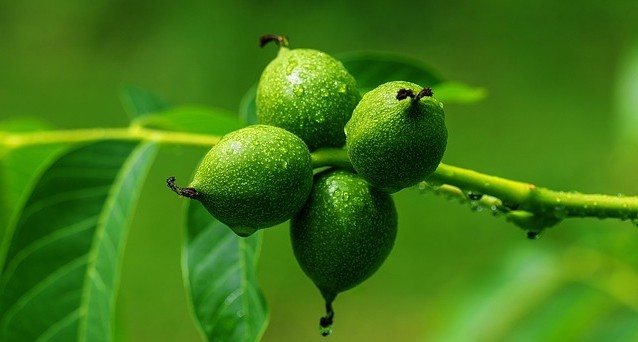 oresak - Zásobárna receptů z ořešákového listí, skořápek a slupek