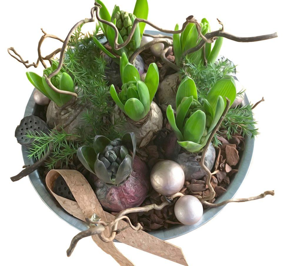 rostliny - Jak urychlit hyacinty, aby vám vykvetly už na Vánoce