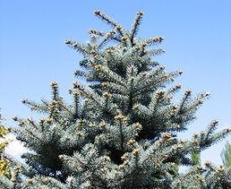 smrk pichlavy - Živý vánoční stromeček: Jaké druhy se na něj hodí nejlépe
