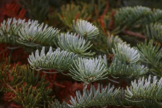 strom - Vánoční stromek v květináči od A do Z. Od správného nákupu až po celoroční péči