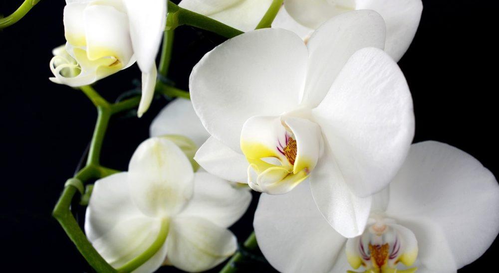 orchidej kvet - Když nekvetou orchideje, mohou vám pomoci i přísady ze spíže