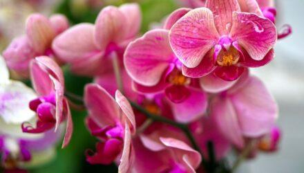 orchidej ruzova kvet 440x250 - sazenicka.cz
