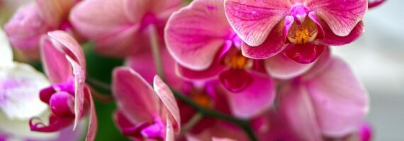 orchidej ruzova kvet