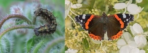 babocka admiral - Kopřivy a motýli: Jaké druhy na nich žijí