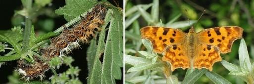 babocka bile c - Kopřivy a motýli: Jaké druhy na nich žijí