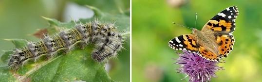babocka bodlakova - Kopřivy a motýli: Jaké druhy na nich žijí