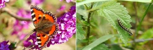 babocka koprivova - Kopřivy a motýli: Jaké druhy na nich žijí