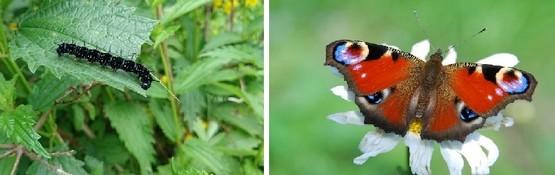 babocka pavi oko - Kopřivy a motýli: Jaké druhy na nich žijí