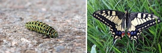 otakarek fenyklovy - Kopřivy a motýli: Jaké druhy na nich žijí