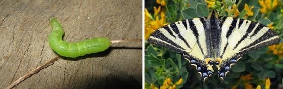 otakarek ovocny - Kopřivy a motýli: Jaké druhy na nich žijí