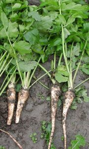 Pastinak 180x300 - Vypěstujte si pastinák, abyste získali zeleninu plnou vlákniny a vitamínů