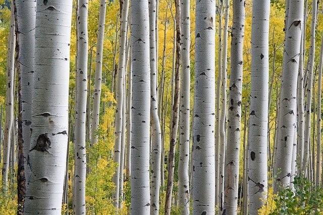 briza - Na jaře si natrhejte březové listí a využijte všechnu jeho sílu
