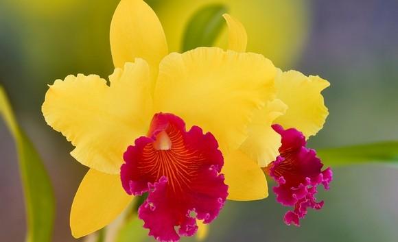 cattleya orchidej - Cattleya dowiana vykvete i v obývacím pokoji