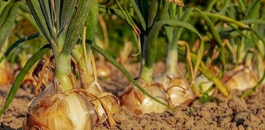 cibule - Vysévaná cibule se ujme i tam, kde se té ze sazečky nedaří