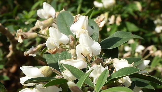cilimnik ker - Motýlový keř čilimník může růst i na vaší zahradě