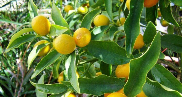 citrony plody