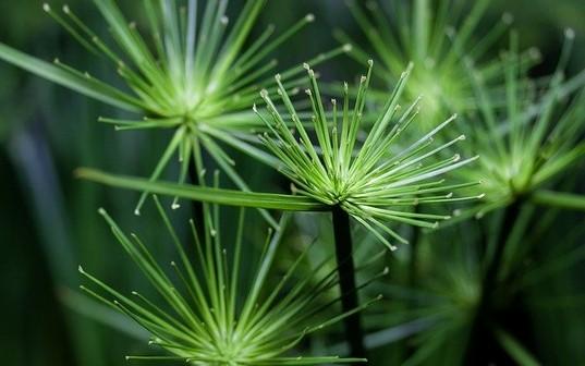 cyperus - Milují přelévání i sucho aneb málo známé nenáročné pokojovky