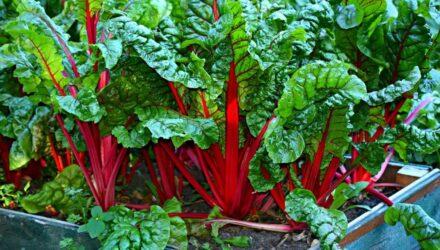 mangold zelenina