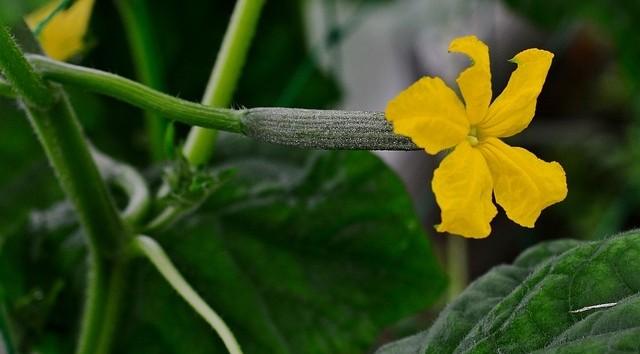 okurky kvet - Nastartujte okurkovou sezónu se vším všudy