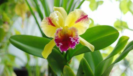 orchidej cattleya