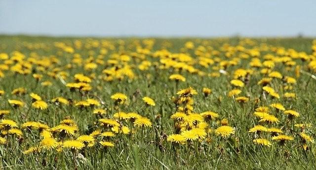 pampeliska - Bylinky na imunitu, které vám rostou za humny právě teď