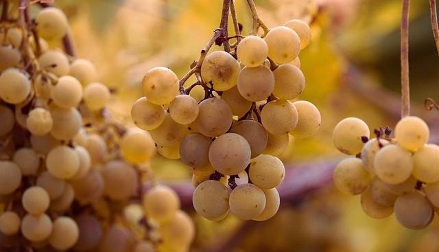 reva plody - Padlí révy: Odhalte ho včas díky jednoduchému triku