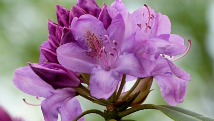 rhododendron fialova barva