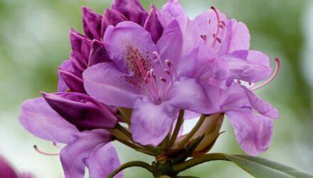rhododendron fialova barva 440x250 - sazenicka.cz