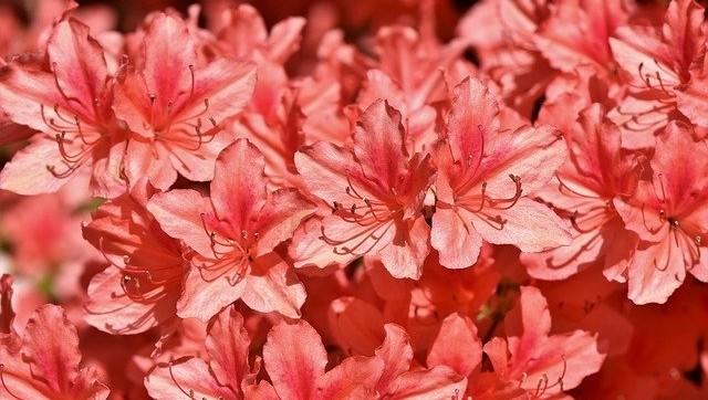rhododendron - Kde pěstovat rododendrony, aby byly krásné