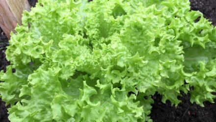 rimsky salat