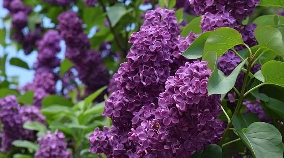 serik fialova - Pořiďte si do zahrady šeřík. Můžete vybírat z různých barev i vůní