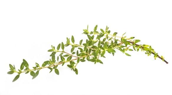 tymian bylina - Antibakteriální gel jen z toho, co najdete na zahrádce