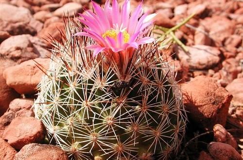 Escobaria vivipara - Coryphantha aneb kaktusy s květem na hlavě