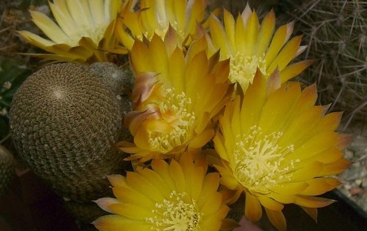 lobivia famatimensis - Lobivia jsou žlutě a červeně kvetoucí kaktusy z Bolívie