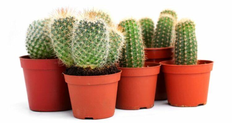 pestovani kaktusu