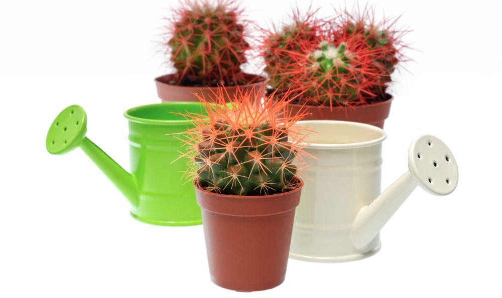 pestovat kaktusy scaled - V jakých nádobách pěstovat kaktusy a jak je přesazovat