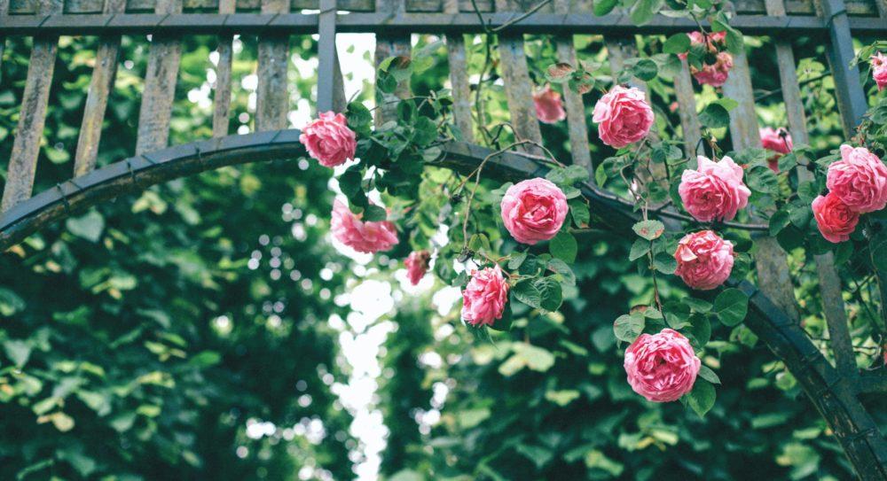 popinave ruze scaled - Udělejte si na zahradě okrasný oblouk, který přitáhne pozornost