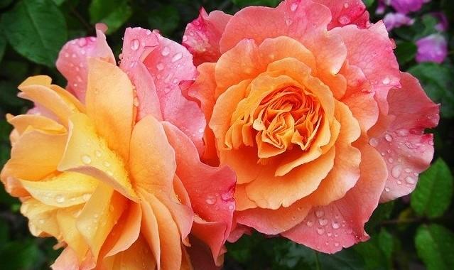 ruze - Co všechno potřebuje vaše okrasná zahrada během dubna