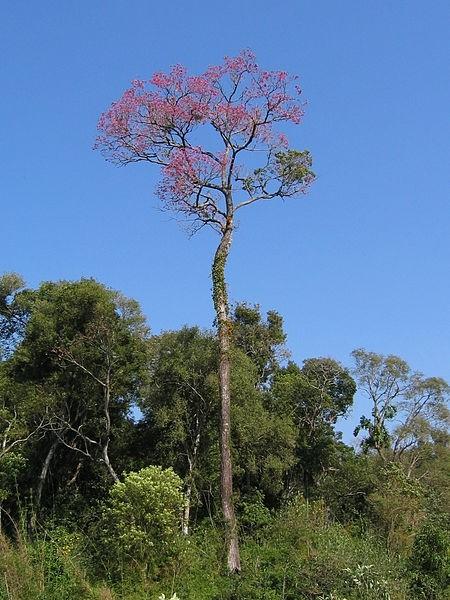 strom lapacho - Čaj Lapacho byl tradičním čajem jihoamerických Indiánů, ale dnes si jej můžete vychutnat i vy
