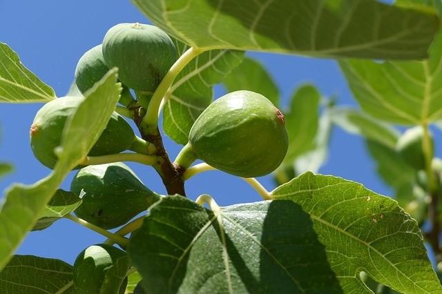 fikovnik - Fíkovník se dá po čase pěstovat celoročně venku