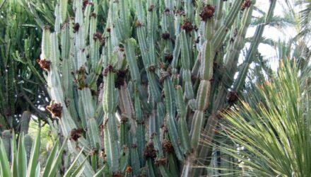 Cereus peruvians 440x250 - sazenicka.cz